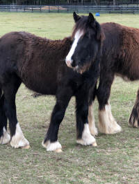 IHF Irish Mist, 2018 Gypsy Vanner Horse filly