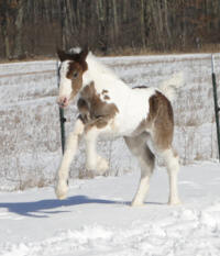 Feathered Gold Irish Rose, 2011 Gypsy Vanner Horse filly