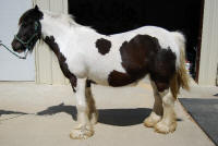 Isabella, imported Gypsy Vanner Horse mare