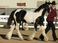 SGV Ivy Rose, 2013 Gypsy Vanner Horse filly
