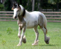 RGF Izzy, 2009 Gypsy Vanner Horse filly