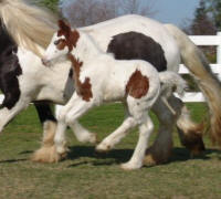 JC Colt, 2008 Gypsy Vanner Horse foal