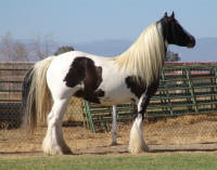 JC, imported Gypsy Vanner Horse mare
