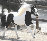 GG Jackie, 2006 Gypsy Vanner Horse filly