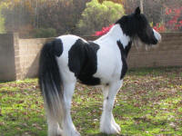 Jade, 2007 Gypsy Vanner Horse filly