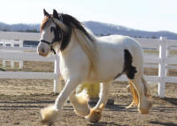 Jennifer of Lexlin, 2008 imported Gypsy Vanner Horse mare