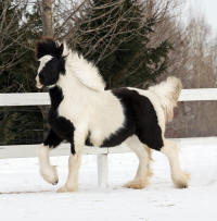 Lake Ridge Josie, 2008 Gypsy Vanner Horse filly