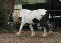 GG Juicy, 2010 Gypsy Vanner Horse mare