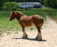 Padparadshah, imported Gypsy Vanner Horse filly