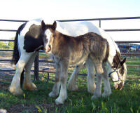 Kaloo, Gypsy Vanner Horse filly