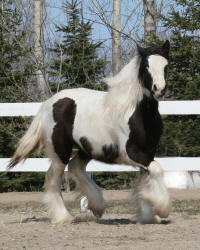 Lake Ridge Katrina, 2008 Gypsy Vanner Horse filly
