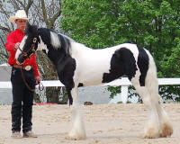 OMF's Keepsake, 2006 Gypsy Vanner Horse filly