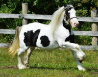 WW Keeva's Klover, 2009 Gypsy Vanner Horse filly