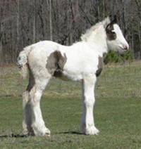 Feathered Gold Kendrick, 2010 Gypsy Vanner Horse colt
