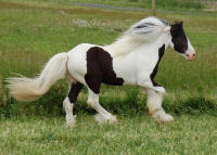 Killian's Irish, 2006 Gypsy Vanner Horse colt