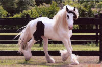 Latcho's King Tut, 2006 Gypsy Vanner Horse colt