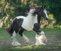 The King's Rendition, 2011 Gypsy Vanner Horse colt