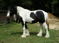 VVF The King's Titan, 2007 Gypsy Vanner Horse colt