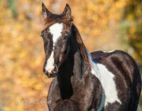 SWF He Blue Me Kisses, 2012 Gypsy Vanner Horse colt