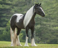 BPF The Kat's Meow, 2012 Gypsy Vanner Horse filly