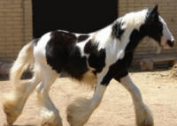Lion King's Perfection, 2008 Gypsy Vanner Horse colt