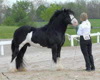 Comanche, 2000 imported Gypsy Vanner Horse stallion