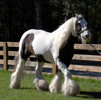 Lace Romni, imported Gypsy Vanner Horse mare