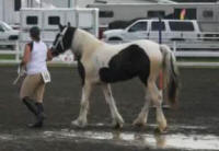 Lady Grace, 2008 Gypsy Vanner Horse filly