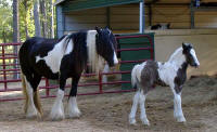 Freeland's Lady Luck with Diamonds, 2008 Gypsy Vanner Horse filly