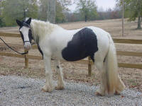 Cushti Bok Lady, 1996 imported Gypsy Vanner Horse mare
