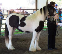 Rock Ranch Lasair, 2005 Gypsy Vanner Horse mare