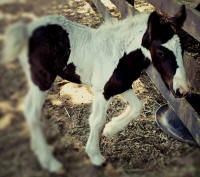 GG Latcho's Rose, 2014 Gypsy Vanner Horse filly