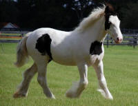 Lavinia, 2007 Gypsy Vanner Horse filly
