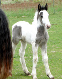 Feathered Gold Layla, 2011 Gypsy Vanner Horse filly