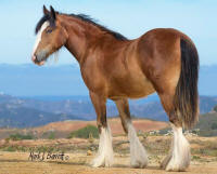 Sparkling Caymus Colleen, 2014 Gypsy Vanner Horse filly