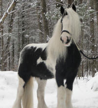 Feathered Gold Romantic Legend, 2006 Gypsy Vanner Horse stallion
