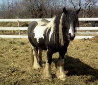 Feathered Gold Legendary Lady, 2010 Gypsy Vanner Horse mare