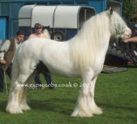 Lenny Horse colt, Gypsy Vanner Horse in the UK