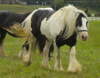 Lenny's Lucky Lass, 2007 Gypsy Vanner Horse mare