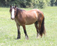 Strawberry Wine of Lexlin, 2009 Gypsy Vanner Horse mare
