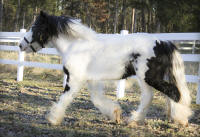 The Storm of Lexlin, 2010 Gypsy Vanner Horse gelding