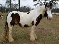 Lexlin's Willow, 2010 Gypsy Vanner Horse mare