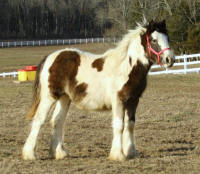 Lexlin's Avalanna, 2012 Gypsy Vanner Horse filly