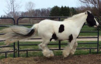 Lillie Belle, 2009 Gypsy Vanner Horse mare