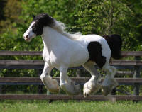 WR Lily Rose, 2008 Gypsy Vanner Horse mare