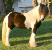 The Lion Queen, 2005 Gypsy Vanner Horse mare