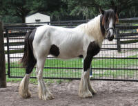 GG Little Fred, 2014 Gypsy Vanner Horse colt