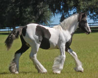 Livianna, 2009 Gypsy Vanner Horse filly