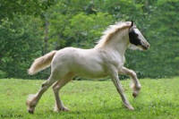 GG Lolita, 2007 Gypsy Vanner Horse filly
