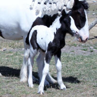 GRS Lottery Princess, 2015 Gypsy Vanner Horse filly